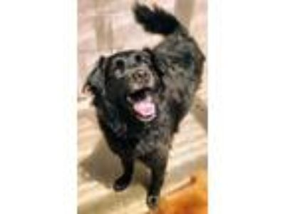 Adopt Tierney a Black Collie / Labrador Retriever / Mixed dog in Waldorf