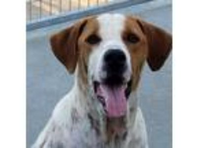 Adopt Basil a White - with Red, Golden, Orange or Chestnut Pointer / Mixed dog