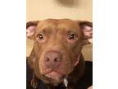 Adopt Gigi a Brown/Chocolate American Pit Bull Terrier dog in Cutler Bay