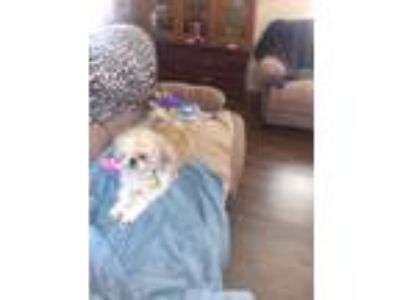 Adopt Buttercup a Tan/Yellow/Fawn Shih Tzu dog in New Caney, TX (25329487)