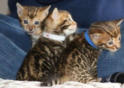 Bengal Kittens - TICA, CFA, TIBCS Registered Cattery - KITTENS BORN 10-15-18