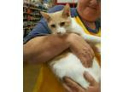 Adopt Moe a White (Mostly) Domestic Shorthair (short coat) cat in Rosemead