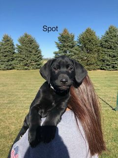 Labrador Retriever PUPPY FOR SALE ADN-75773 - AKC MALE BLACK LAB 12 Weeks