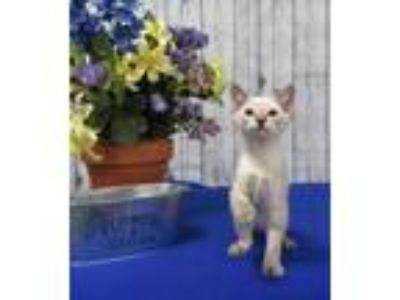 Adopt Hyacinth a Domestic Short Hair, Siamese