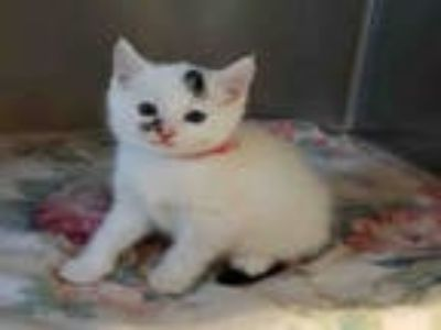 Adopt SMUDGE a White (Mostly) Domestic Shorthair / Mixed (short coat) cat in