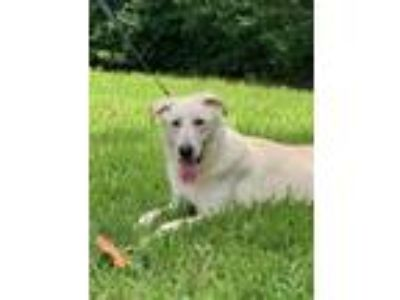 Adopt Shepherd a Labrador Retriever / German Shepherd Dog / Mixed dog in Davie