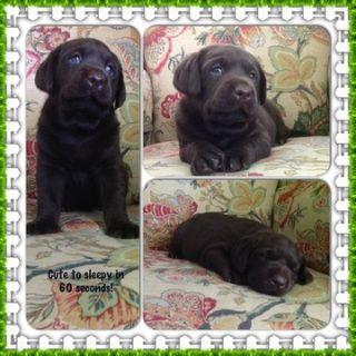 Labrador Retriever PUPPY FOR SALE ADN-101465 - AKC Chocolate Labrador Retriever