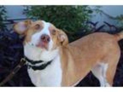 Adopt Indy a Red/Golden/Orange/Chestnut - with White Beagle / Labrador Retriever