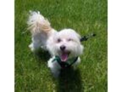 Havanese - For Sale Classifieds - Claz org
