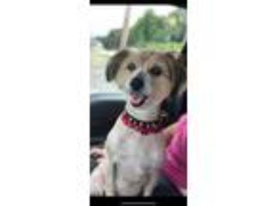 Adopt Harley a Silky Terrier