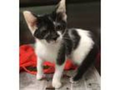 Adopt Bullwinkle a Domestic Short Hair