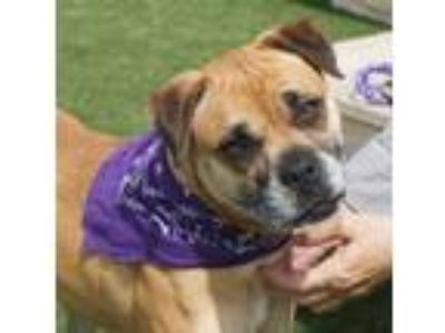 Adopt Emerald a Boxer, Mixed Breed