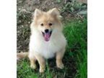Adopt PUPPY BUTTERS a Tan/Yellow/Fawn - with White Pomeranian / Mixed dog in