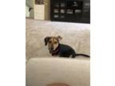 Adopt Bella a Black - with White Beagle / Dachshund dog in Woodstock