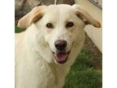 Adopt Kari a Retriever, Labrador Retriever