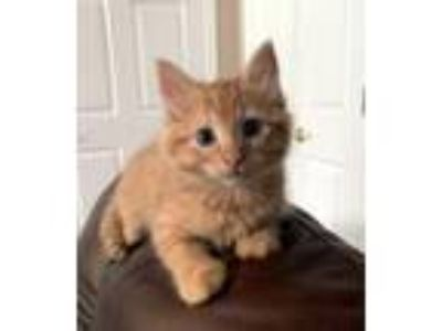 Adopt Queen Elizabeth a Orange or Red Domestic Longhair / Mixed cat in