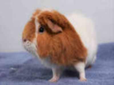 Adopt ZEKE a Brown or Chocolate Guinea Pig / Mixed small animal in Loveland