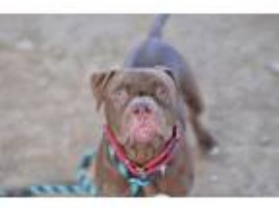 Adopt Anakin a Pit Bull Terrier, Mixed Breed