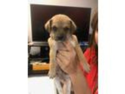 Adopt Tully a Tan/Yellow/Fawn - with White Beagle / Poodle (Standard) / Mixed