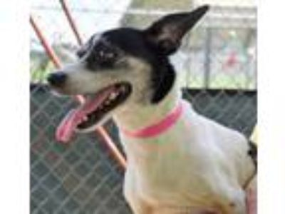 Adopt STRAY/SAILBOAT AVE/AVAIL 06/22/19 a White Rat Terrier / Mixed dog in