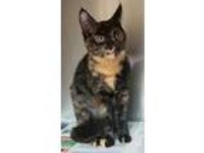 Adopt Pumpkin a Domestic Shorthair / Mixed cat in Atlantic City, NJ (25301345)