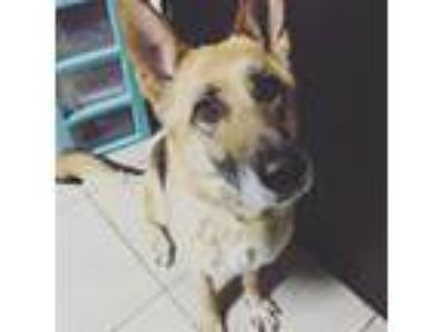 Adopt Shasta a German Shepherd Dog