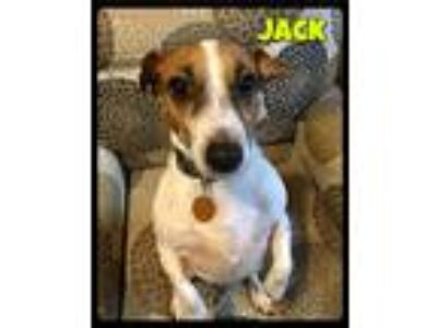 Adopt Jack - Foster / 2019 a White - with Tan, Yellow or Fawn Jack Russell