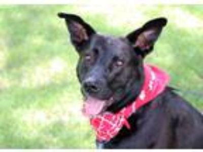 Adopt Harley a German Shepherd Dog, Labrador Retriever