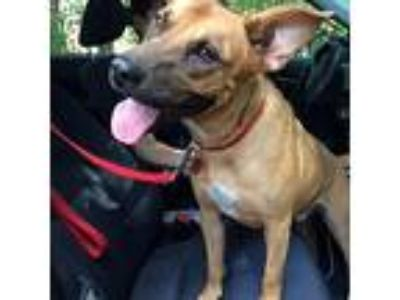 Adopt Lucky (Courtesy Listing) a Black Mouth Cur