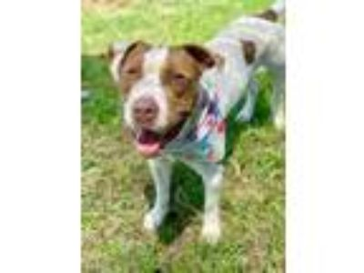 Adopt Cord a White American Pit Bull Terrier / Mixed dog in West Memphis