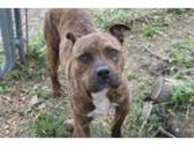 Adopt COOPER a Brindle - with White American Pit Bull Terrier / Mixed dog in