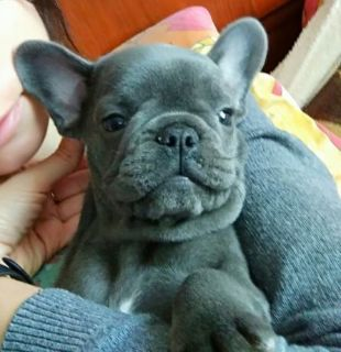 French Bulldog PUPPY FOR SALE ADN-94796 - Male French Bulldog