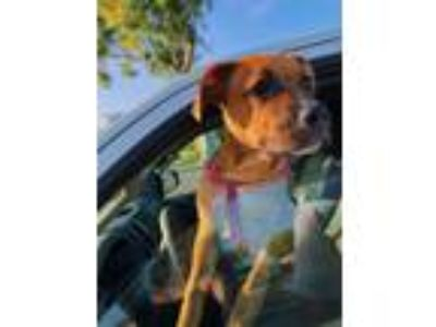 Adopt Blunt the puppy a Brown/Chocolate - with White American Pit Bull Terrier /