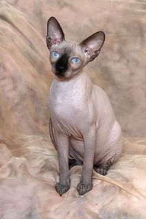 Sphynx kittens are available