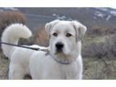 Adopt Goggles a Great Pyrenees / Mixed dog in Park City, UT (25274202)