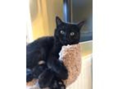 Adopt Toothless a Domestic Shorthair / Mixed cat in San Luis Obispo
