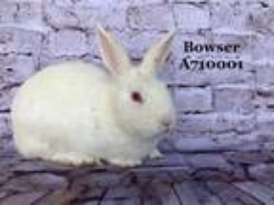 Adopt BOWSER a Bunny Rabbit