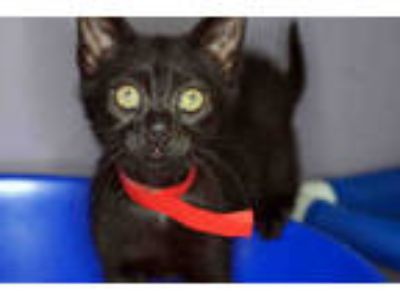 Adopt INDY a All Black Domestic Shorthair / Mixed (short coat) cat in West Palm