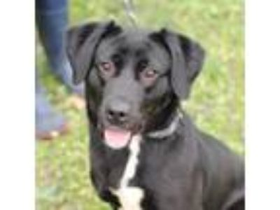 Adopt Kara a Black - with White Labrador Retriever / Mixed dog in Minneapolis