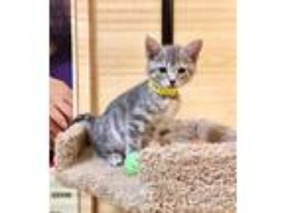 Adopt Sydney a Gray, Blue or Silver Tabby Domestic Shorthair (short coat) cat in