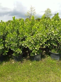 CLUSIA!PRIVACY PLANTS MEGA SALE 10 ACRES OF BEAUTY