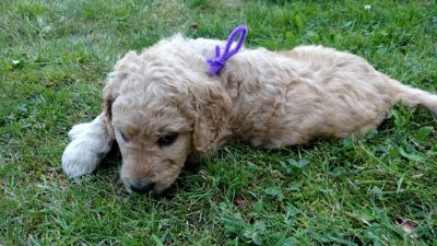 Goldendoodle PUPPY FOR SALE ADN-91060 - Goldendoodle pups