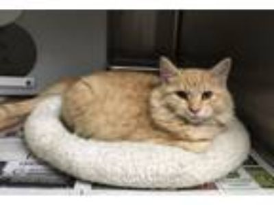 Adopt Drew Brees - Confident, Gorgeous, 4-Month-Old Maine Coon! a Maine Coon