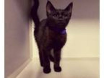 Adopt Carla a Black (Mostly) Domestic Shorthair (short coat) cat in Winter