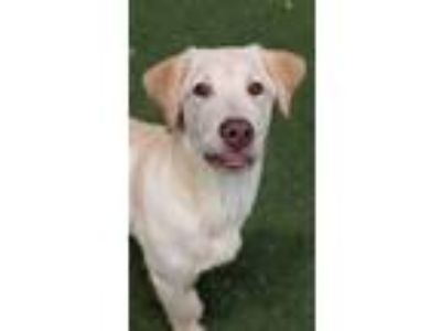 Adopt Brute a Yellow Labrador Retriever