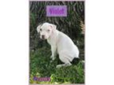 Adopt Violet a White - with Tan, Yellow or Fawn American Pit Bull Terrier /