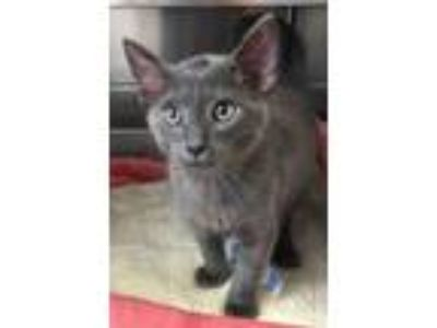 Adopt Clem a Domestic Short Hair