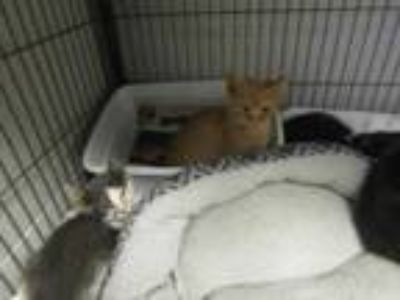 Adopt Kitten 8 a White Domestic Shorthair / Domestic Shorthair / Mixed cat in