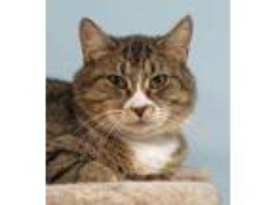 Adopt Reyna a Brown Tabby Domestic Shorthair / Mixed (short coat) cat in Spokane