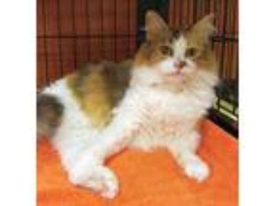 Adopt SALLY a Tan or Fawn Maine Coon / Domestic Shorthair / Mixed cat in Powder